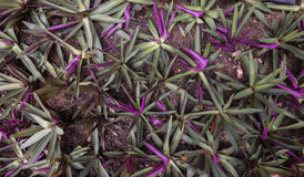 Färg för växt för ostron violett och grön, av växten i semesterortträdgården royaltyfri bild