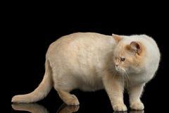 Färg-punkt brittiska Shorthair Cat Standing och se tillbaka, isolerad bakgrund Royaltyfri Fotografi