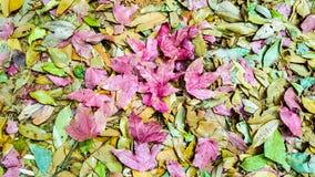 Färg som är blandad av lönnlövet Arkivfoton