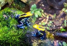 Färga grodan, tinc eller att färga för pil den giftgrodaDendrobates tinctoriusen 'Brasilien ', arkivfoton