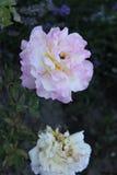 färgad blomma fotografering för bildbyråer
