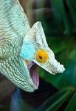 färgad kameleont Arkivbilder