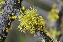 Färgad lav för guling på en trädfilial arkivfoton