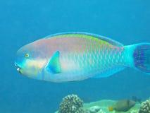 färgad parrotfish Arkivbild