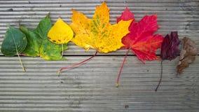 färgade leaves Arkivfoto