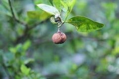 Färgade limefrukter Arkivbild