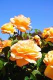 Färgade rosor för persika. Fotografering för Bildbyråer