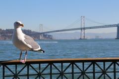 Färgbild av seagullen med den Oakland fjärdbron i bakgrund in Royaltyfri Bild