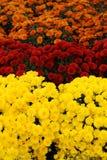 färgblommor Royaltyfri Bild
