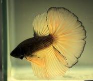Färgen av den thailändska stridighetfisken arkivbild