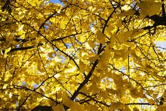 Färgen av hösten är gul Arkivbild