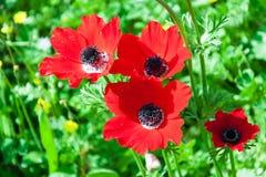 Färgen av Negeven i Israel som blommar vallmo Royaltyfri Bild