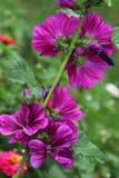 Färger av den stora malvaen är ofta i olika rosa signaler Royaltyfria Bilder
