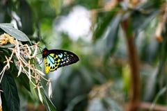 Färger av en FJÄRIL för RÖSEN BIRDWING på ett blad Arkivfoto