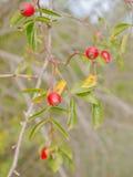 Färger av fallen - rose höft Arkivfoto
