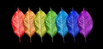 Färger av regnbågen Modell av mångfärgad sidatexturbakgrund Ljusa färgrika körsbärsröda sidor som isoleras på svart Färgconce royaltyfria foton