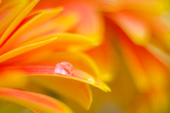 Färger för orange tusensköna i vatten drops21 Arkivfoto