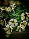 Färger för petunia itu Arkivbilder