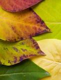 färger faller leaves Fotografering för Bildbyråer