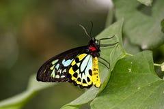 Färger på vingarna av en FJÄRIL för RÖSEN BIRDWING på ett blad Fotografering för Bildbyråer