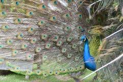 Färger synar sammanlagt av en påfågel Fotografering för Bildbyråer