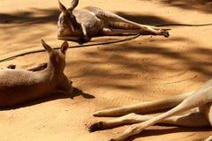Färgerna av Australien Röd-brunt Blod som är rött till torkade bruna kängurufärger Royaltyfri Bild
