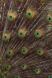 Färgfotografi av påfågelfjädrar arkivfoto