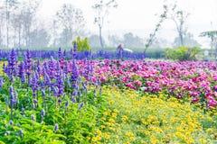 Färgglad blomma i formell trädgård Fotografering för Bildbyråer