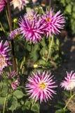 Färgglad blomma i trädgård royaltyfri bild