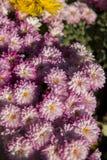 Färgglad blomma i trädgård royaltyfri foto