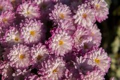 Färgglad blomma i trädgård fotografering för bildbyråer