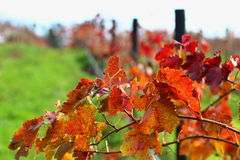 Färgglad detalj av vinorchad i Adelaide Hills Arkivbilder