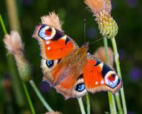 Färgglad europeisk gemensam påfågelfjäril Aglais io Royaltyfri Fotografi