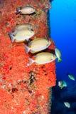 Färgglad fisk runt om en borrigg Royaltyfri Foto