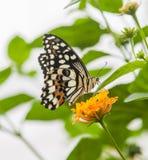 färgglad fjäril arkivfoton