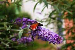 Färgglad fjäril på purpurfärgade blommor fotografering för bildbyråer
