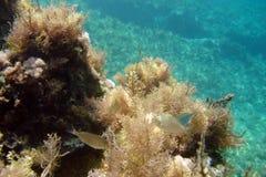 Färgglad havsväxt och hungrig fisk Arkivfoto