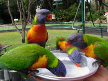färgglad papegoja Royaltyfri Fotografi