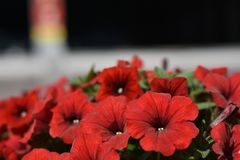 Färgglad petunia Blomsterrabatt med röda blommor för petuniapetuniahybrida arkivfoton