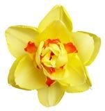 färgglad pingstlilja Royaltyfri Foto