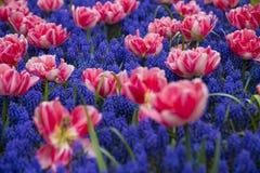 färgglada tulpan Royaltyfria Bilder