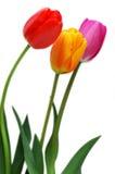 färgglada tulpan royaltyfri fotografi