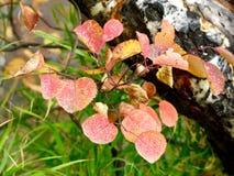 Färgglade Autumn Red och gula sidor Vit björkTree alberta Kanada royaltyfri fotografi
