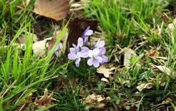 Färgglade blommor av lösa violets, tricolor altfiol arkivbild