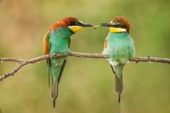 Färgglade fåglar - europeisk bi-ätaren Meropsapiaster passerar mat till en annan fågel royaltyfri foto