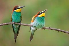 Färgglade fåglar - europeiskt sammanträde för bi-ätare Meropsapiaster på en pinne fotografering för bildbyråer