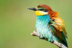 Färgglade fåglar - europeiskt sammanträde för bi-ätare Meropsapiaster på en pinne close upp royaltyfri bild