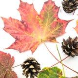 Färgglade höstsidor och pinecones isolerade på vit bakgrund - färgerna av nedgången - säsonger av jorden royaltyfri fotografi