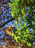 Färgglade höstsidor på ett träd. Höstbakgrund. Arkivbild