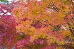 Färgglade lönnblad på träd under höstsäsong arkivbild